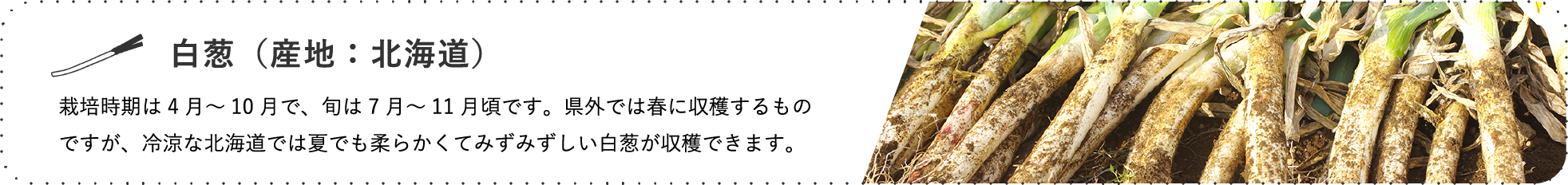 白葱(産地:北海道) / 栽培時期は4月~10月で、旬は7月~11月頃です。県外では春に収穫するもの ですが、冷涼な北海道では夏でも柔らかくてみずみずしい白葱が収穫できます。