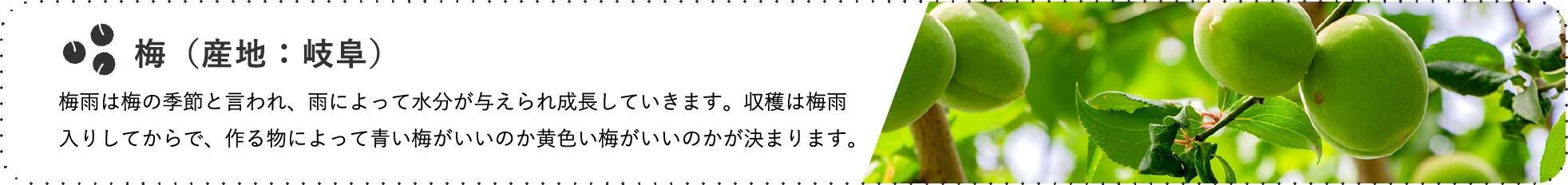 梅(産地:岐阜) / 梅雨は梅の季節と言われ、雨によって水分が与えられ成長していきます。収穫は梅雨入りしてからで、作る物によって青い梅がいいのか黄色い梅がいいのかが決まります。
